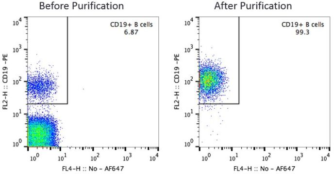 CD19 B Cells Before and After Purification