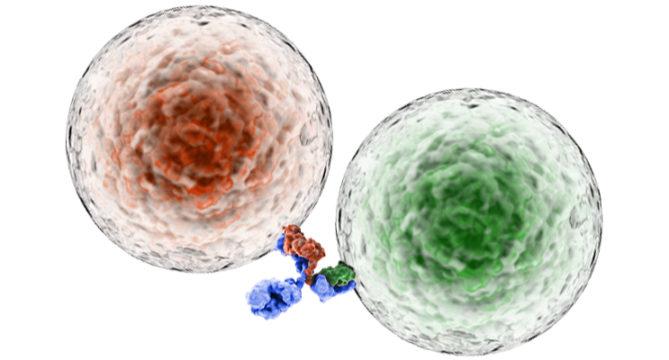 bi-specific antibody