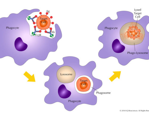 ADCP: The Covert MoA for Therapeutic Antibodies You Need to Know About (Part 2)