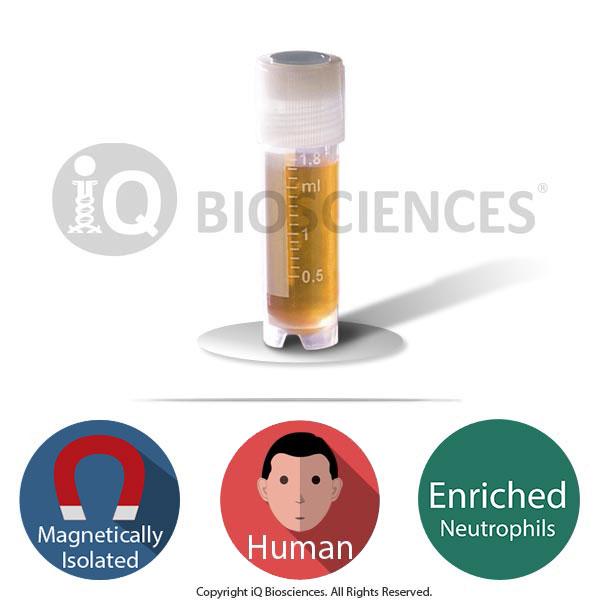 Healthy Human Purified Neutrophils