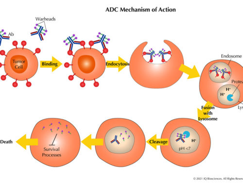 The ABCs of ADCs: An Introduction to Antibody-drug Conjugates