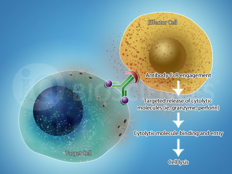 Antibody-dependent cell-mediated cytotoxicity (ADCC) Assay from iQ Biosciences